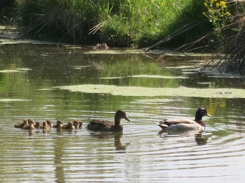 baby ducks 018