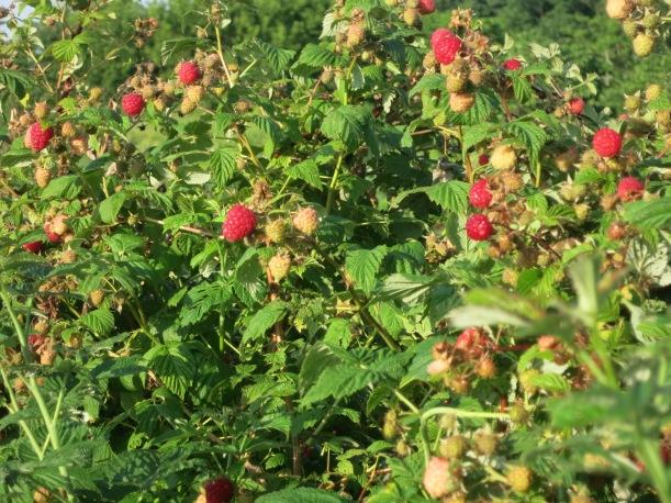 cherries 005